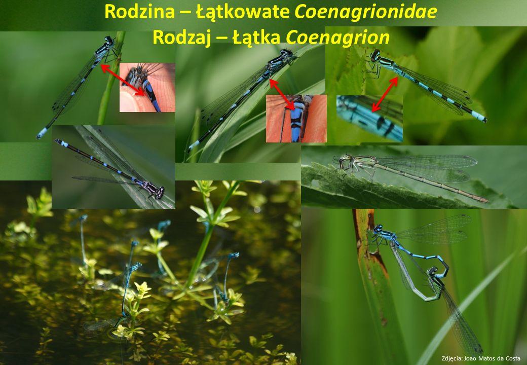 Rodzina – Łątkowate Coenagrionidae Rodzaj – Łątka Coenagrion Zdjęcia: Joao Matos da Costa