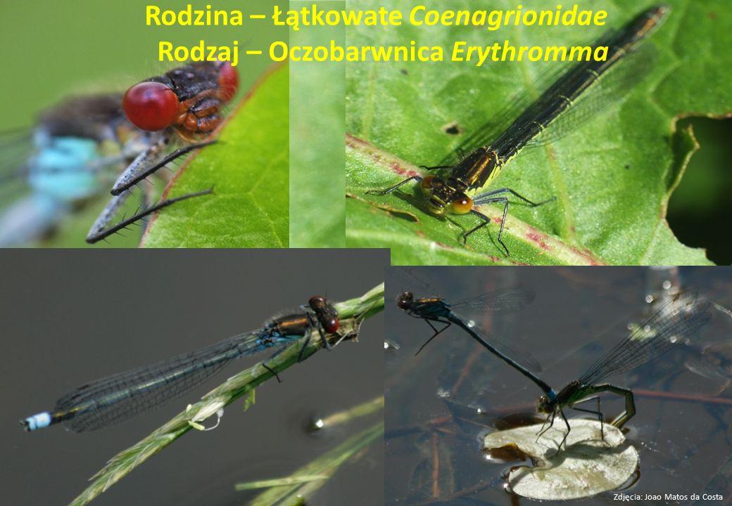 Rodzina – Łątkowate Coenagrionidae Rodzaj – Oczobarwnica Erythromma Zdjęcia: Joao Matos da Costa