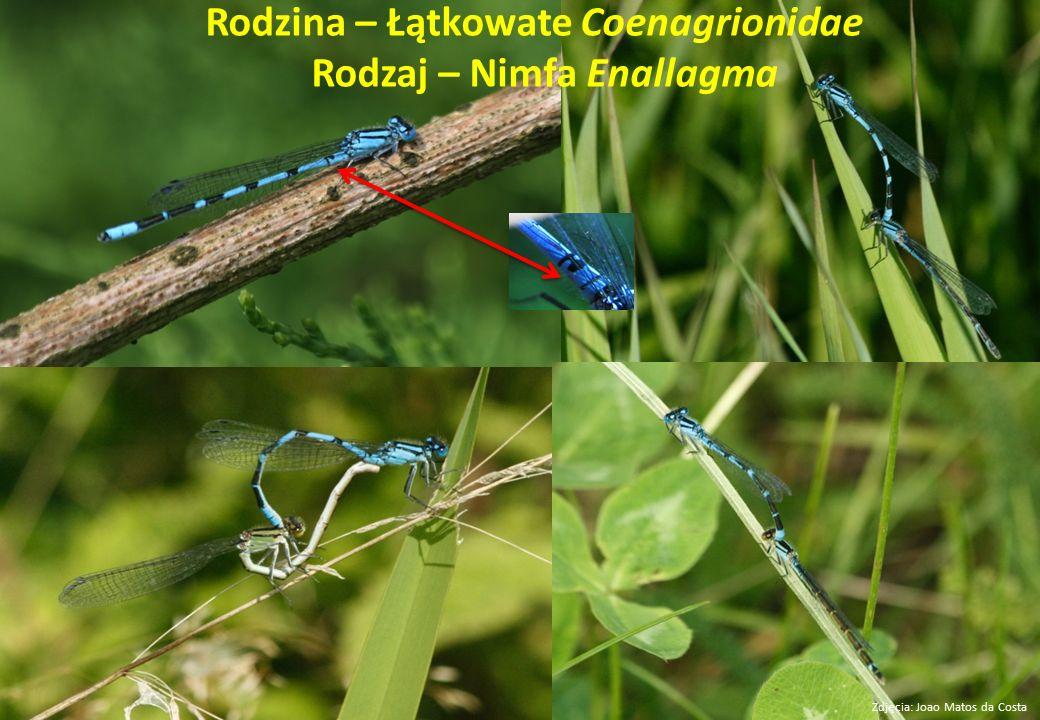 Rodzina – Łątkowate Coenagrionidae Rodzaj – Nimfa Enallagma Zdjęcia: Joao Matos da Costa