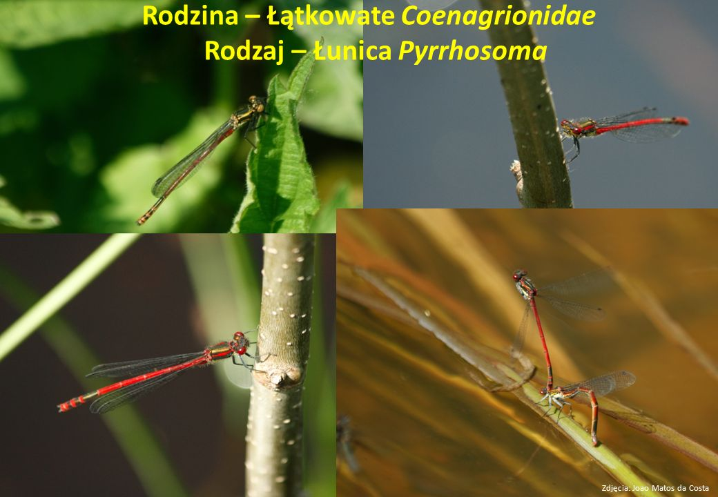 Rodzina – Łątkowate Coenagrionidae Rodzaj – Łunica Pyrrhosoma Zdjęcia: Joao Matos da Costa