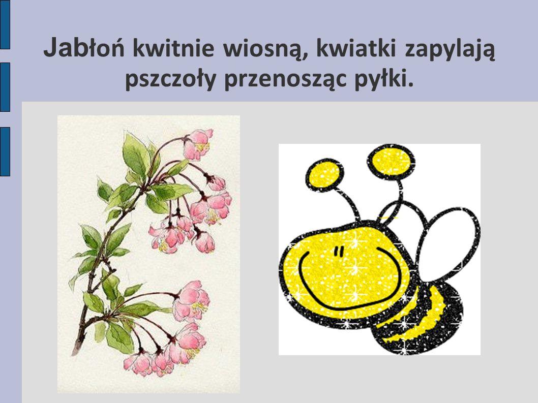 Jab łoń kwitnie wiosną, kwiatki zapylają pszczoły przenosząc pyłki.