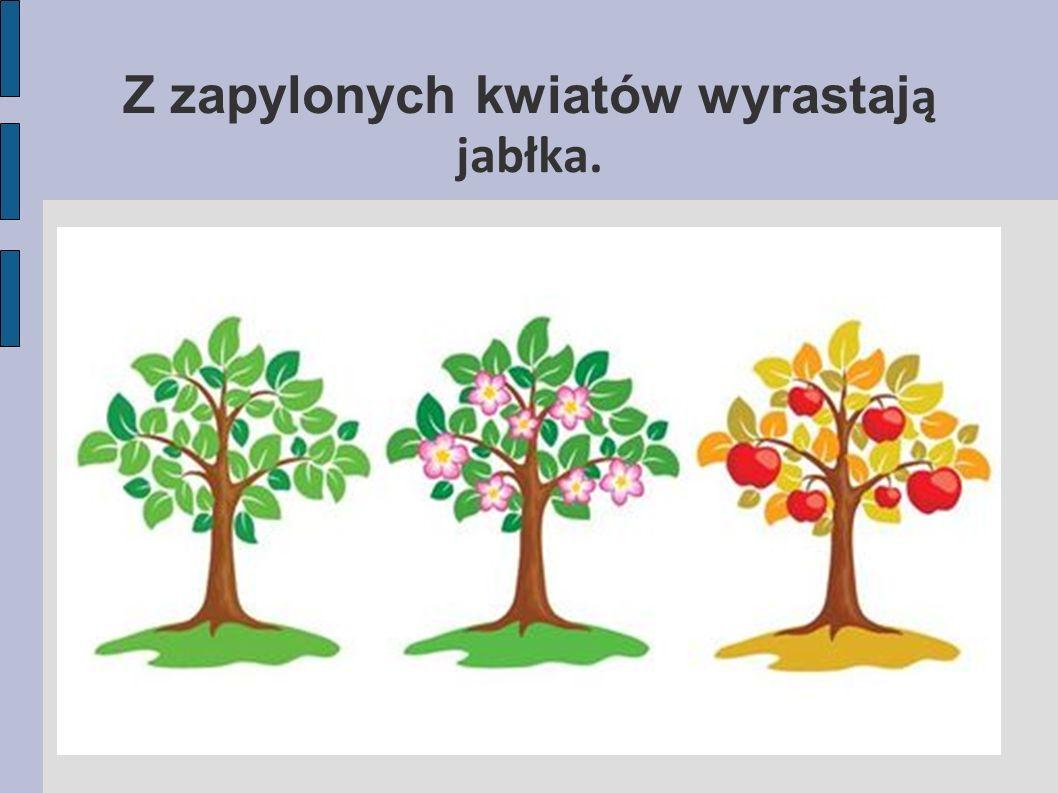 Z zapylonych kwiatów wyrastaj ą jabłka.