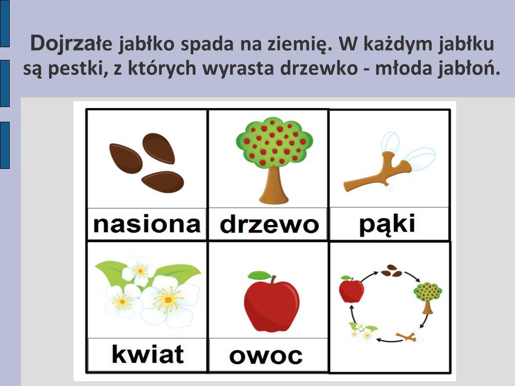 Dojrza łe jabłko spada na ziemię.