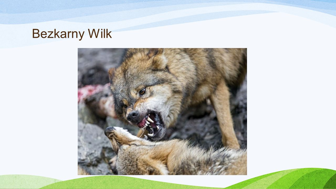Bezkarny Wilk