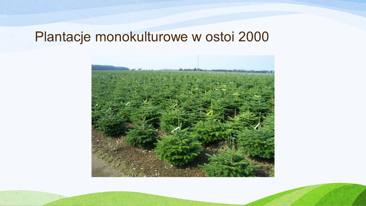 Plantacje monokulturowe w ostoi 2000