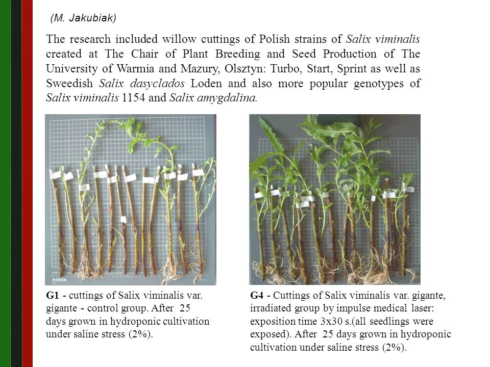 G4 - Cuttings of Salix viminalis var.