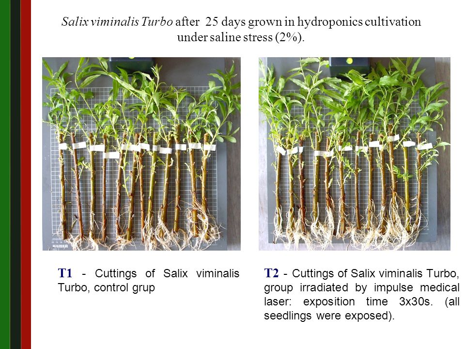 T2 - Cuttings of Salix viminalis Turbo, group irradiated by impulse medical laser: exposition time 3x30s.
