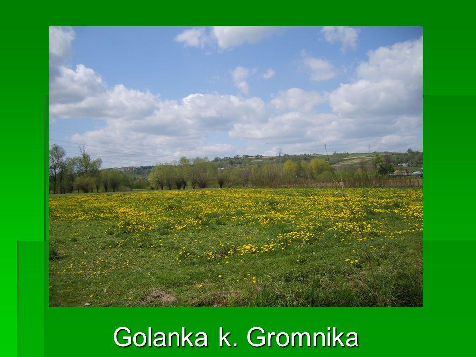 Golanka k. Gromnika
