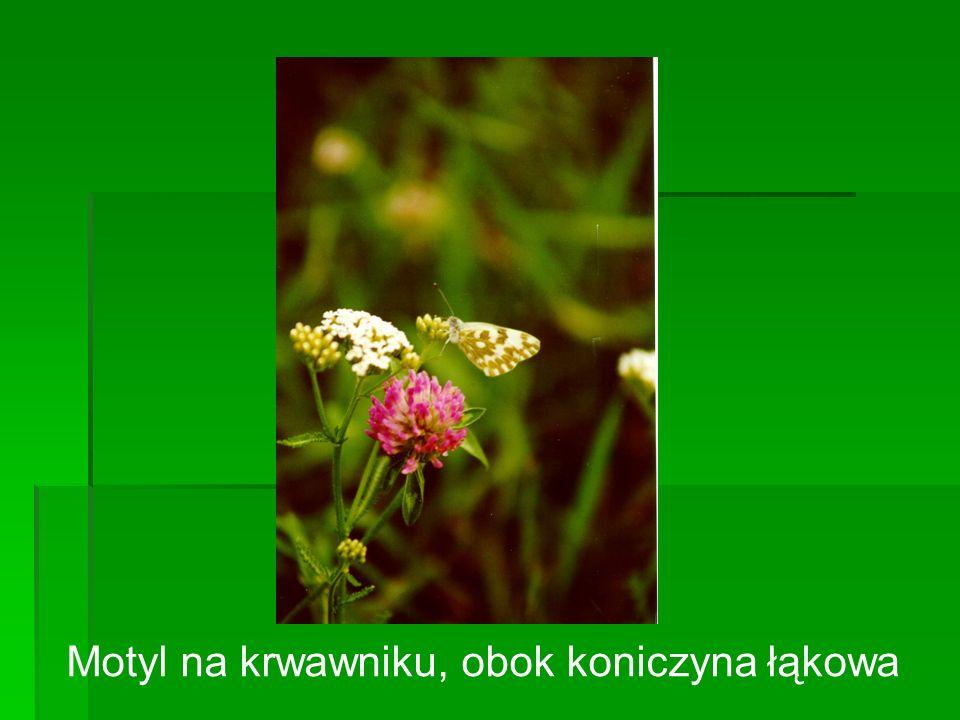 Motyl na krwawniku, obok koniczyna łąkowa