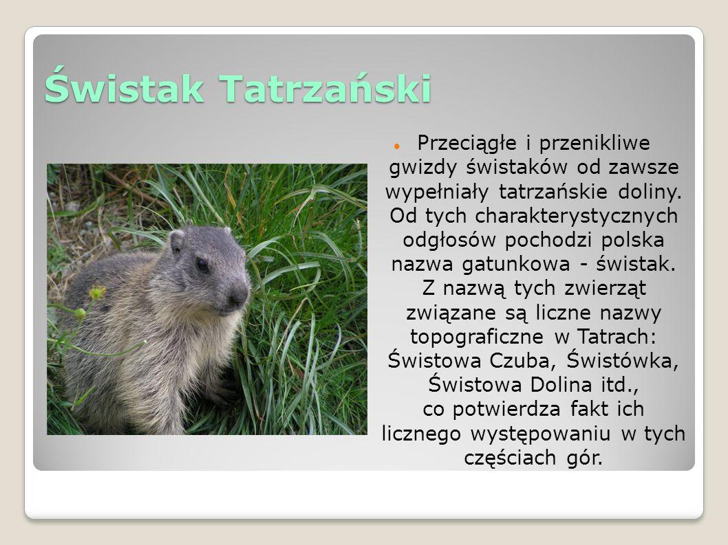 Świstak Tatrzański Przeciągłe i przenikliwe gwizdy świstaków od zawsze wypełniały tatrzańskie doliny.
