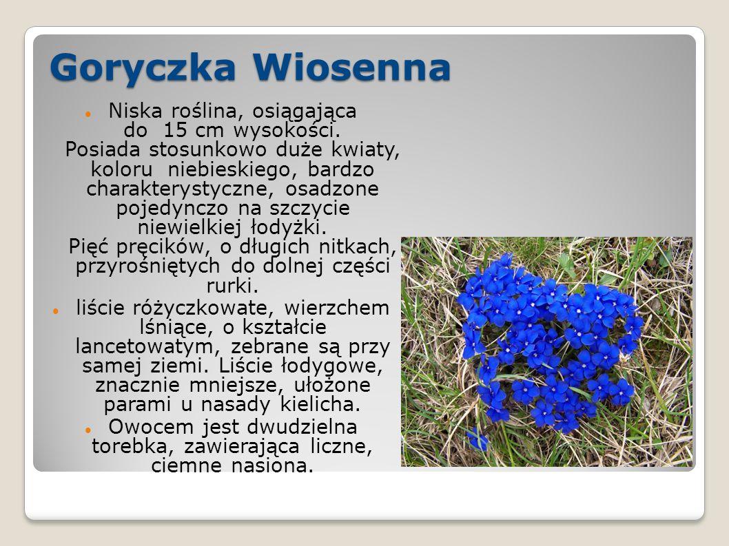 Goryczka Wiosenna Niska roślina, osiągająca do 15 cm wysokości.