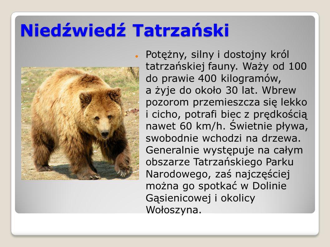 Niedźwiedź Tatrzański Potężny, silny i dostojny król tatrzańskiej fauny.
