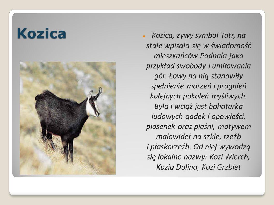 Kozica Kozica, żywy symbol Tatr, na stałe wpisała się w świadomość mieszkańców Podhala jako przykład swobody i umiłowania gór.