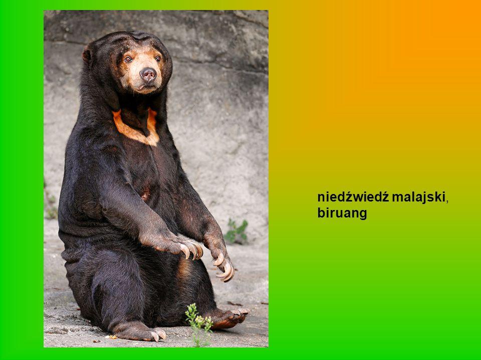 niedźwiedź malajski, biruang