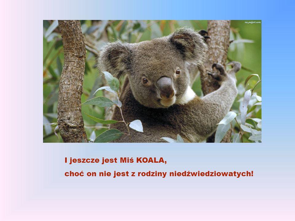 I jeszcze jest Miś KOALA, choć on nie jest z rodziny niedźwiedziowatych!