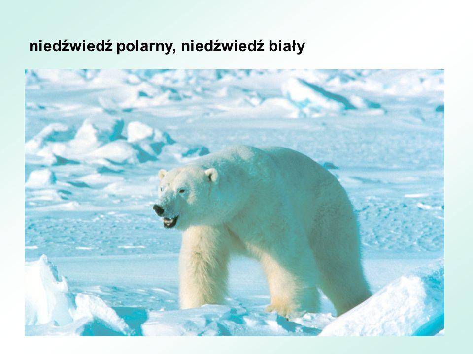 niedźwiedź andyjski, niedźwiedź peruwiański, niedźwiedź okularowy