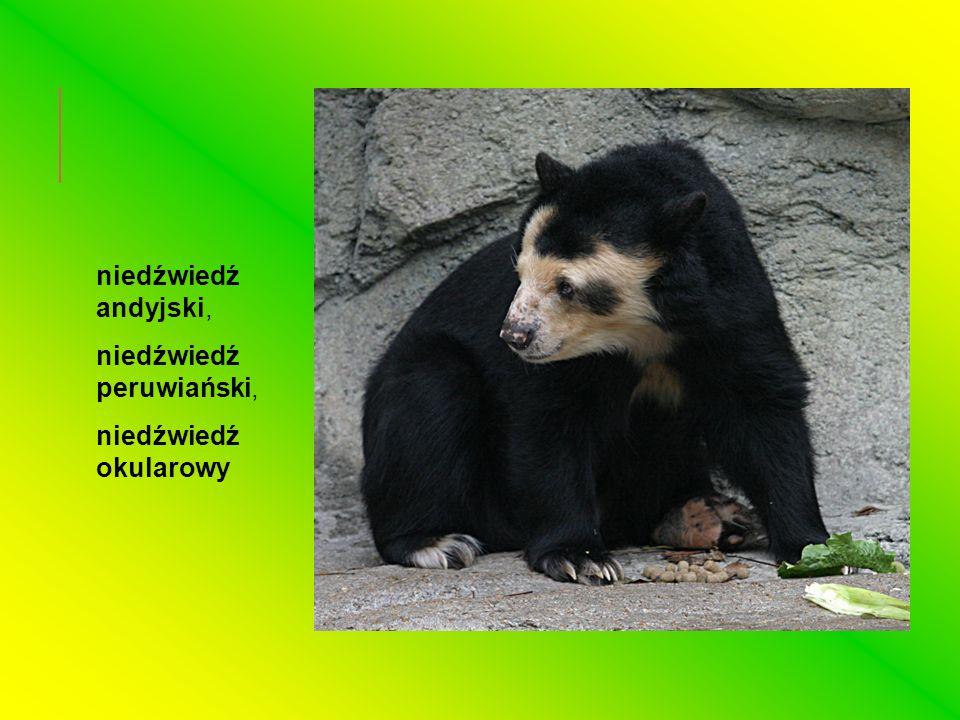 niedźwiedź himalajski, niedźwiedź tybetański, niedźwiedź księżycowy, niedźwiedź obrożny