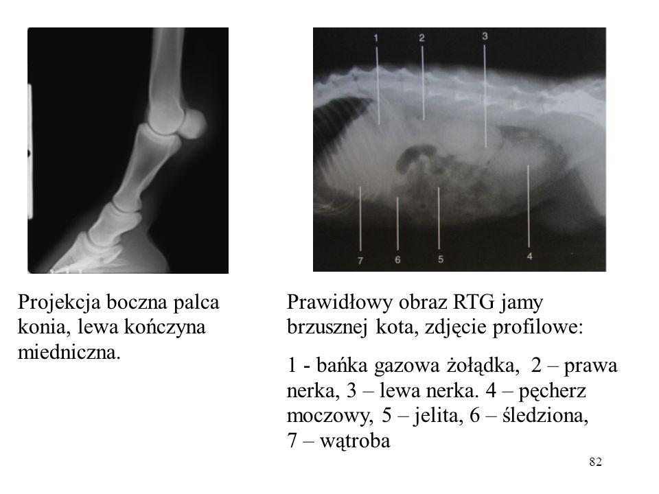 82 Projekcja boczna palca konia, lewa kończyna miedniczna. Prawidłowy obraz RTG jamy brzusznej kota, zdjęcie profilowe: 1 - bańka gazowa żołądka, 2 –