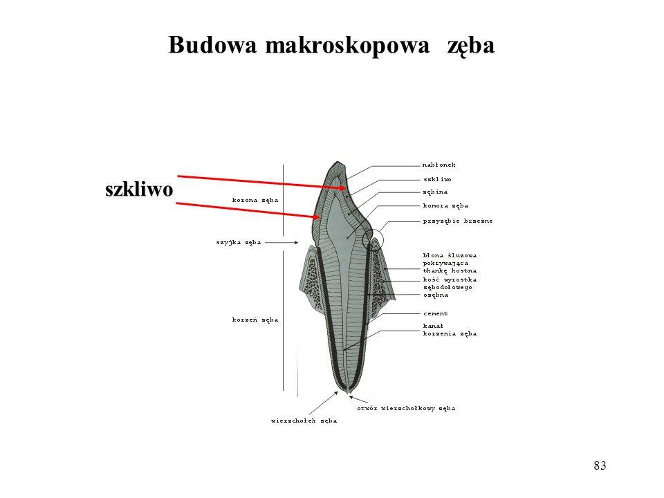 83 szkliwo Budowa makroskopowa zęba