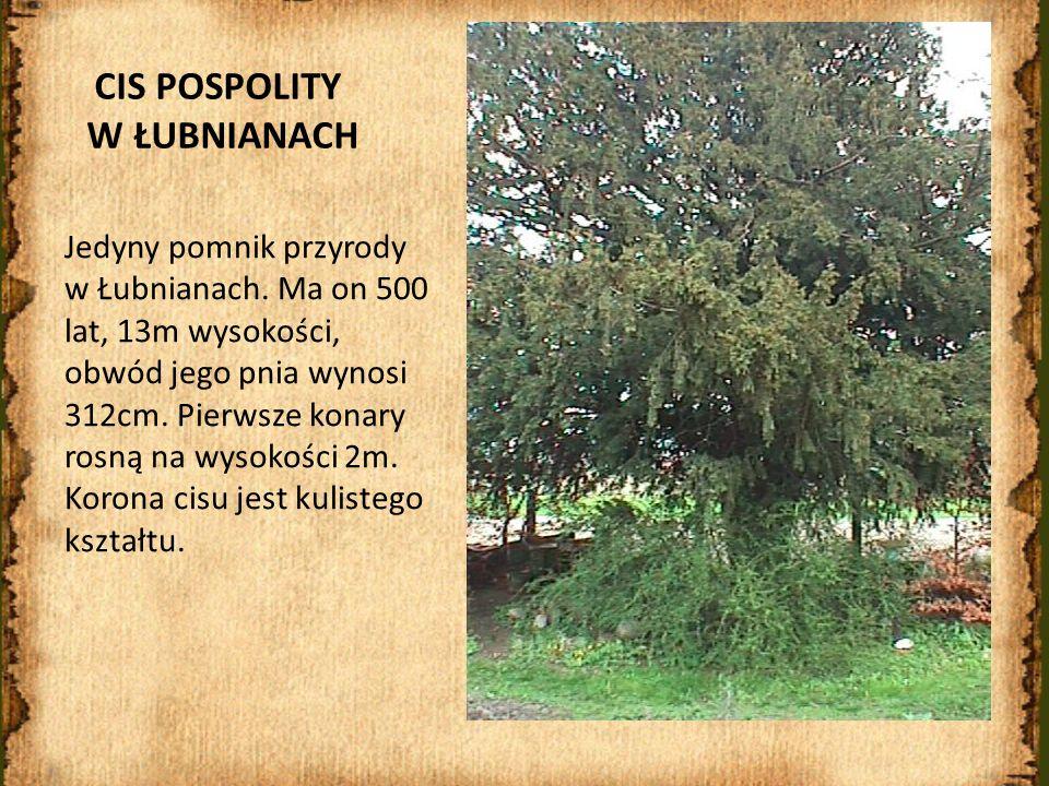 CIS POSPOLITY W ŁUBNIANACH Jedyny pomnik przyrody w Łubnianach. Ma on 500 lat, 13m wysokości, obwód jego pnia wynosi 312cm. Pierwsze konary rosną na w