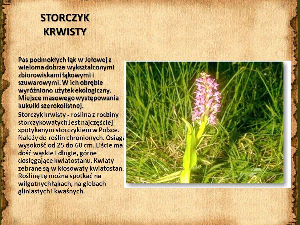 STORCZYK KRWISTY Pas podmokłych łąk w Jełowej z wieloma dobrze wykształconymi zbiorowiskami łąkowymi i szuwarowymi. W ich obrębie wyróżniono użytek ek