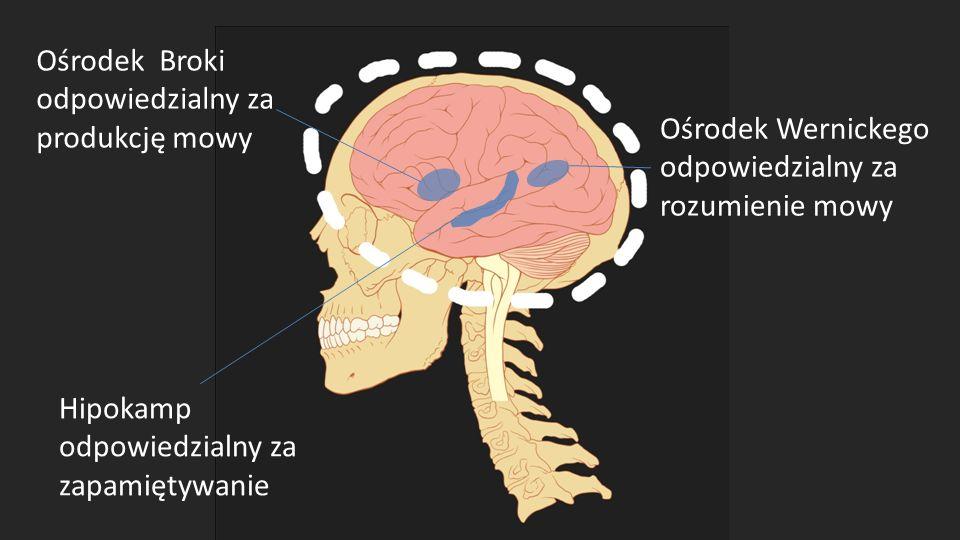 Ośrodek Broki odpowiedzialny za produkcję mowy Ośrodek Wernickego odpowiedzialny za rozumienie mowy Hipokamp odpowiedzialny za zapamiętywanie