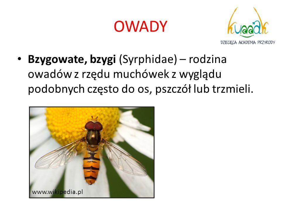 OWADY Bzygowate, bzygi (Syrphidae) – rodzina owadów z rzędu muchówek z wyglądu podobnych często do os, pszczół lub trzmieli. www.wikipedia.pl