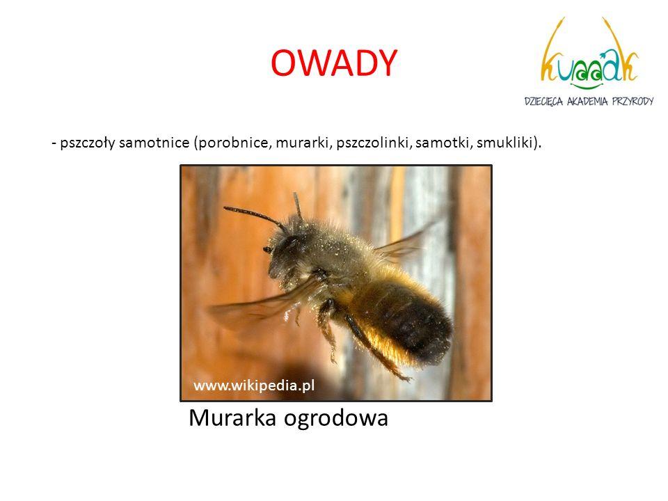 OWADY - pszczoły samotnice (porobnice, murarki, pszczolinki, samotki, smukliki). Murarka ogrodowa www.wikipedia.pl