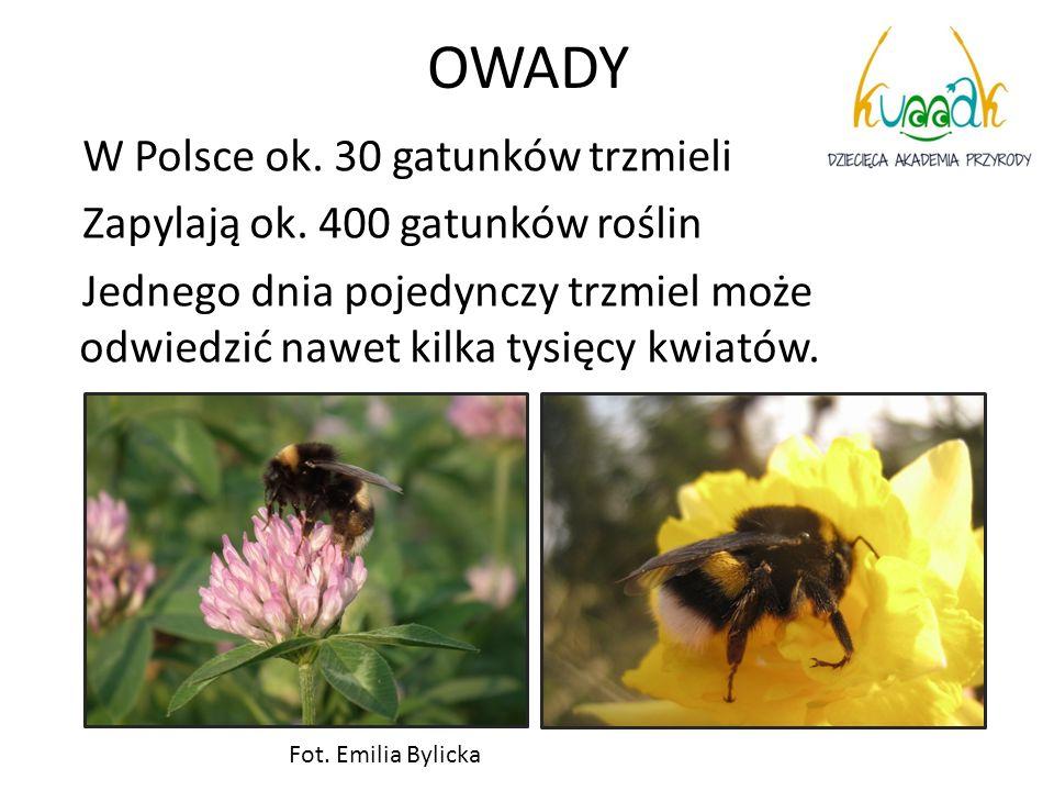 OWADY W Polsce ok. 30 gatunków trzmieli Zapylają ok. 400 gatunków roślin Jednego dnia pojedynczy trzmiel może odwiedzić nawet kilka tysięcy kwiatów. F