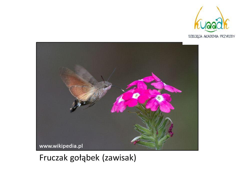 www.wikipedia.pl Fruczak gołąbek (zawisak)