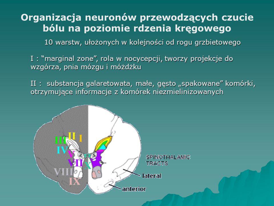 """Organizacja neuronów przewodzących czucie bólu na poziomie rdzenia kręgowego 10 warstw, ułożonych w kolejności od rogu grzbietowego I : marginal zone , rola w nocycepcji, tworzy projekcje do wzgórza, pnia mózgu i móżdżku II : substancja galaretowata, małe, gęsto """"spakowane komórki, otrzymujące informacje z komórek niezmielinizowanych"""