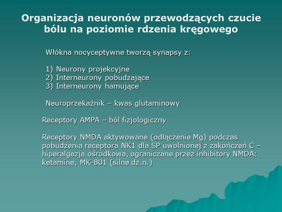 Organizacja neuronów przewodzących czucie bólu na poziomie rdzenia kręgowego Włókna nocyceptywne tworzą synapsy z: 1)Neurony projekcyjne 2)Interneurony pobudzające 3)Interneurony hamujące Neuroprzekaźnik – kwas glutaminowy Receptory AMPA – ból fizjologiczny Receptory NMDA aktywowane (odłączenie Mg) podczas pobudzenia receptora NK1 dla SP uwolnionej z zakończeń C – hiperalgezja ośrodkowa, ograniczane przez inhibitory NMDA: ketamine, MK-801 (silne dz.n.)