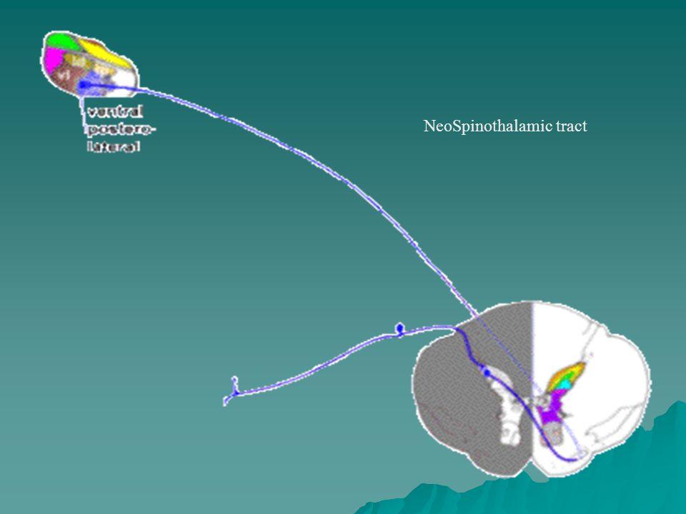 Organizacja dróg wstępujących przewodzenia czucia bólu Drogi rdzeniowo-siatkowate: 1) Projekcje do jąder siatkowatych mostu i rdzenia 2) Mają związek z odpowiedzią afektywną towarzyszącą bólowi 3) Wstępują przyśrodkowo wobec dróg rdzeniowo-wzgórzowych 4) Przewodzą także inne informacje czuciowe Drogi rdzeniowo-śródmózgowiowe 1) Rozpoczyna się w warstwach I i V 2) Droga skrzyżowana 3) Projekcje do tworu siatkowatego śródmózgowia, włączając PAG 4) Znaczenie w hamowaniu czucia bólu