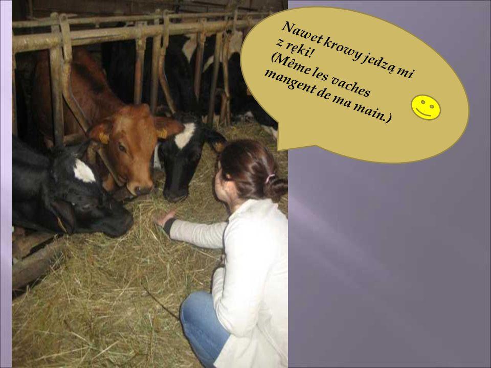 Nawet krowy jedzą mi z ręki! (Même les vaches mangent de ma main.)