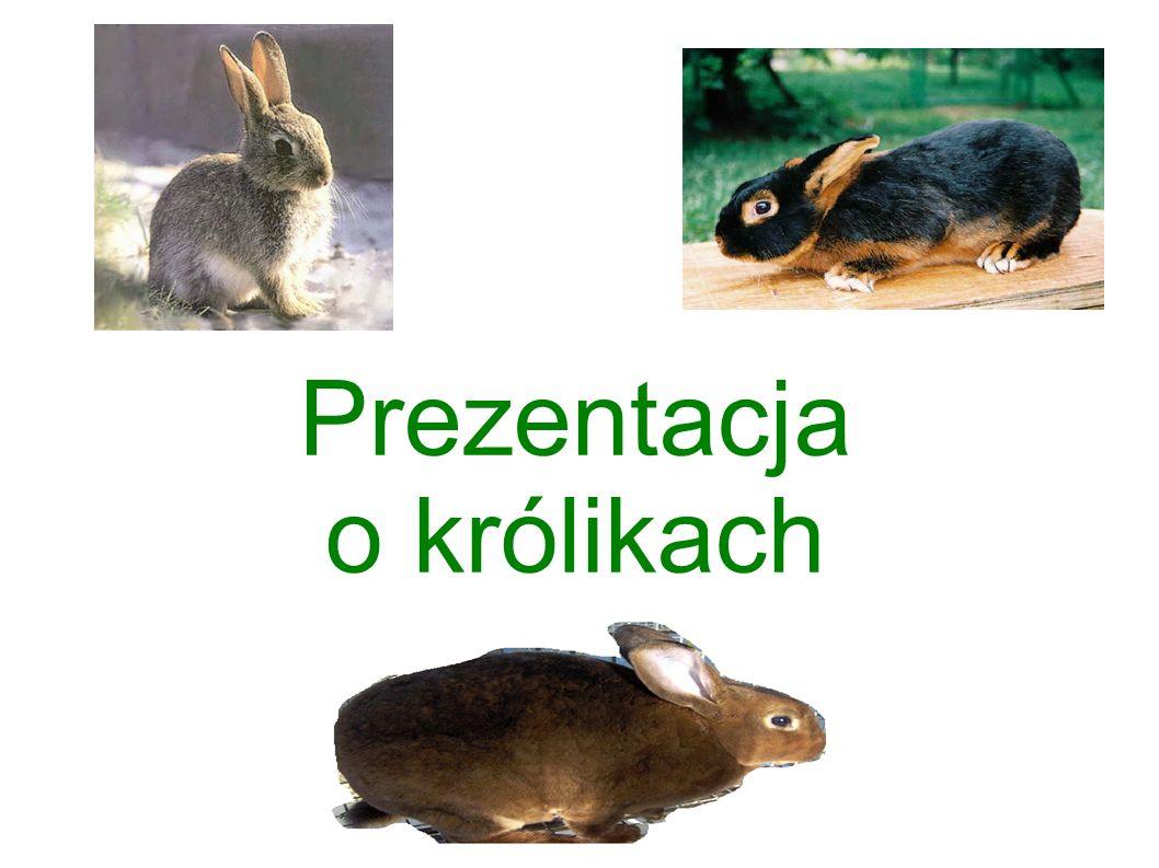 Prezentacja o królikach