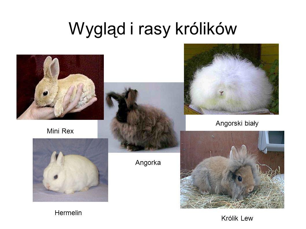 Wygląd i rasy królików Hermelin Angorka Królik Lew Mini Rex Angorski biały