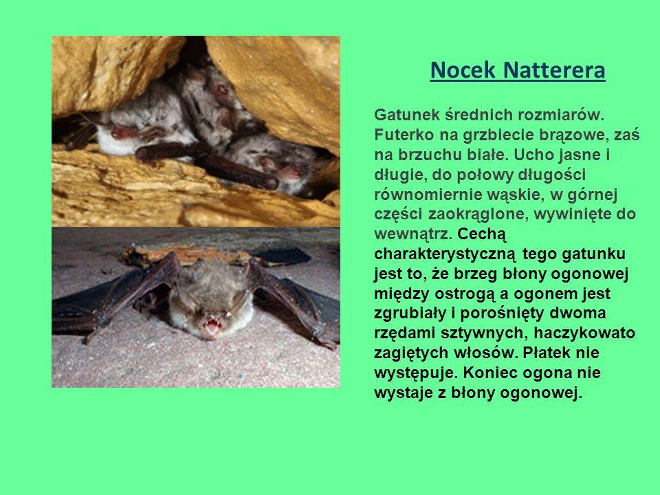 Nocek Natterera Gatunek średnich rozmiarów.Futerko na grzbiecie brązowe, zaś na brzuchu białe.