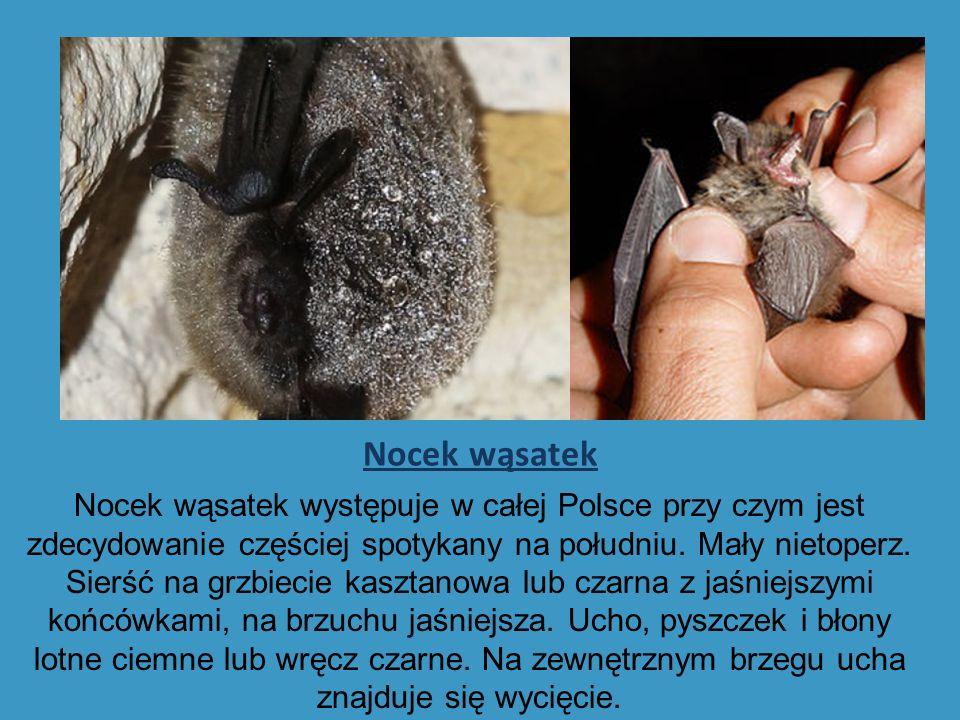 Nocek wąsatek Nocek wąsatek występuje w całej Polsce przy czym jest zdecydowanie częściej spotykany na południu.