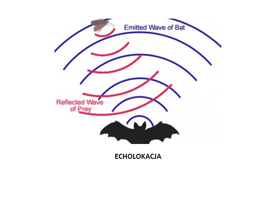 Gacek brunatny Gatunek ssaka z rzędu nietoperzy, który wraz z gackiem szarym stanowi trudną do rozróżnienia parę gatunków.