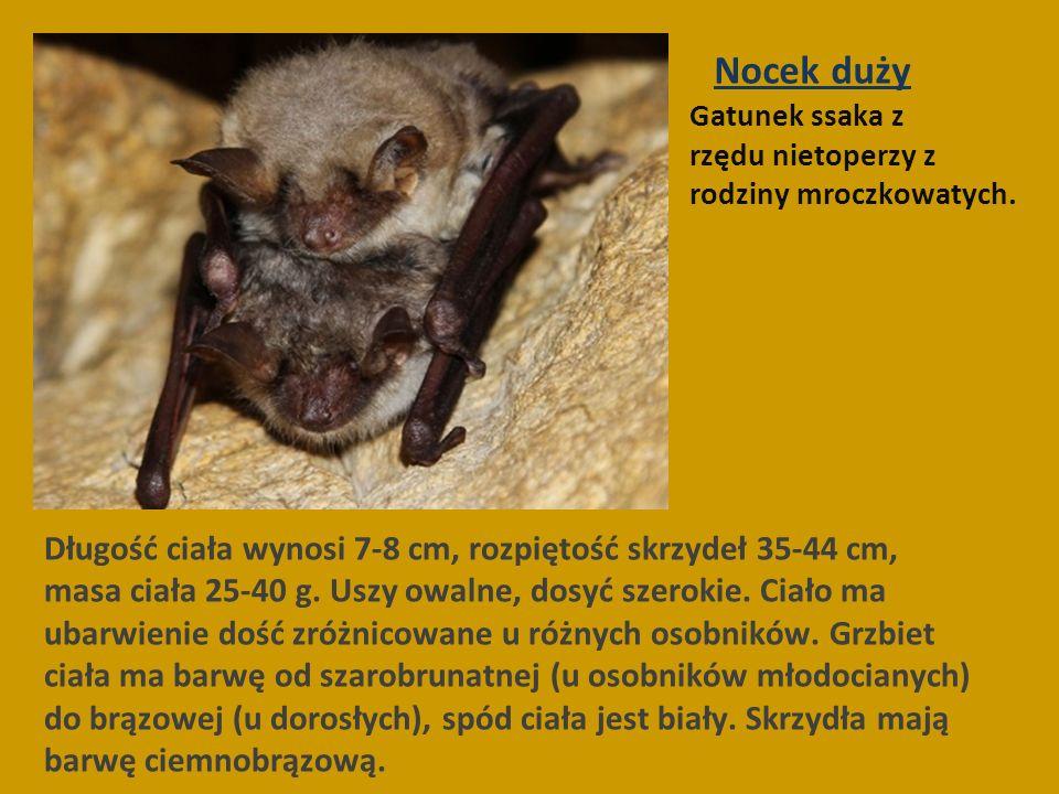Nocek duży Gatunek ssaka z rzędu nietoperzy z rodziny mroczkowatych.