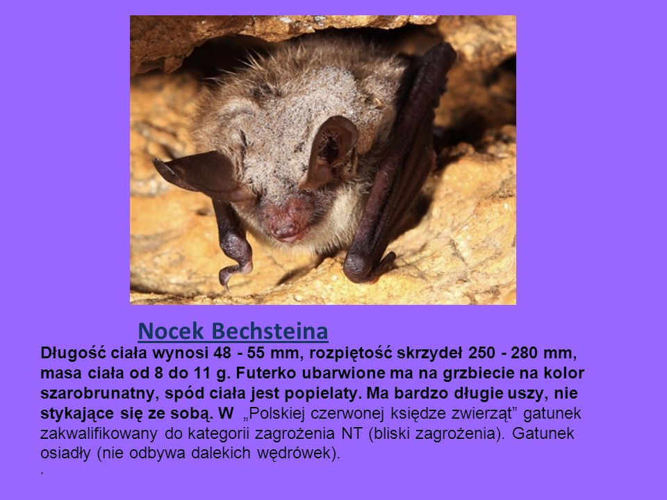 Nocek Bechsteina Długość ciała wynosi 48 - 55 mm, rozpiętość skrzydeł 250 - 280 mm, masa ciała od 8 do 11 g.