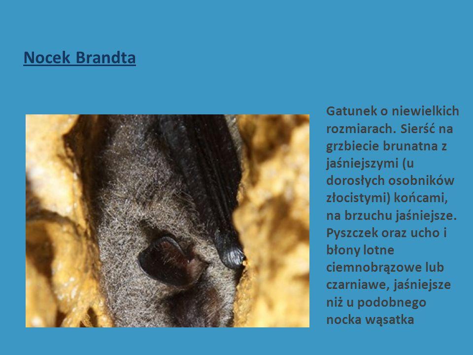 Nocek Brandta Gatunek o niewielkich rozmiarach.