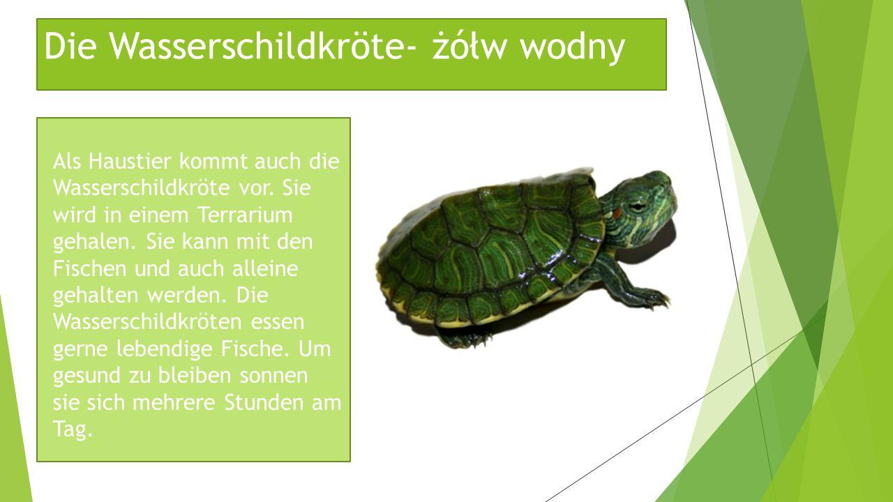 Die Wasserschildkröte- żółw wodny Als Haustier kommt auch die Wasserschildkröte vor. Sie wird in einem Terrarium gehalen. Sie kann mit den Fischen und