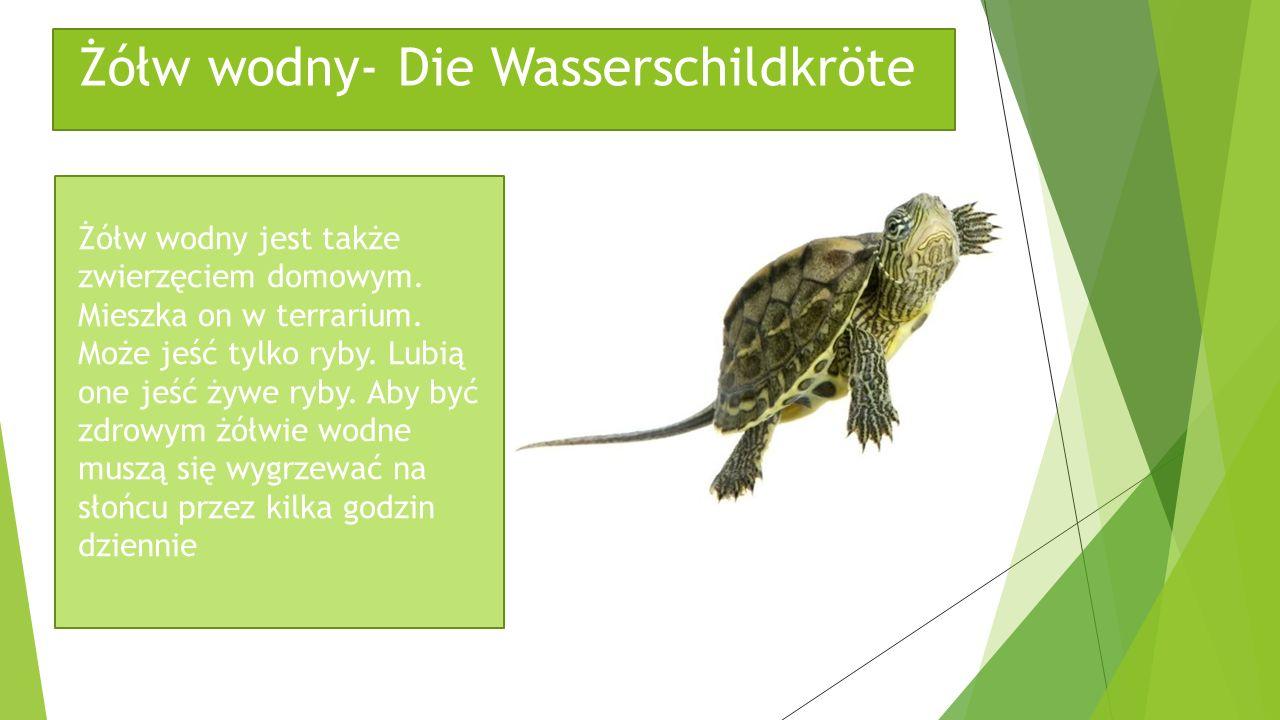 Żółw wodny- Die Wasserschildkröte Żółw wodny jest także zwierzęciem domowym. Mieszka on w terrarium. Może jeść tylko ryby. Lubią one jeść żywe ryby. A