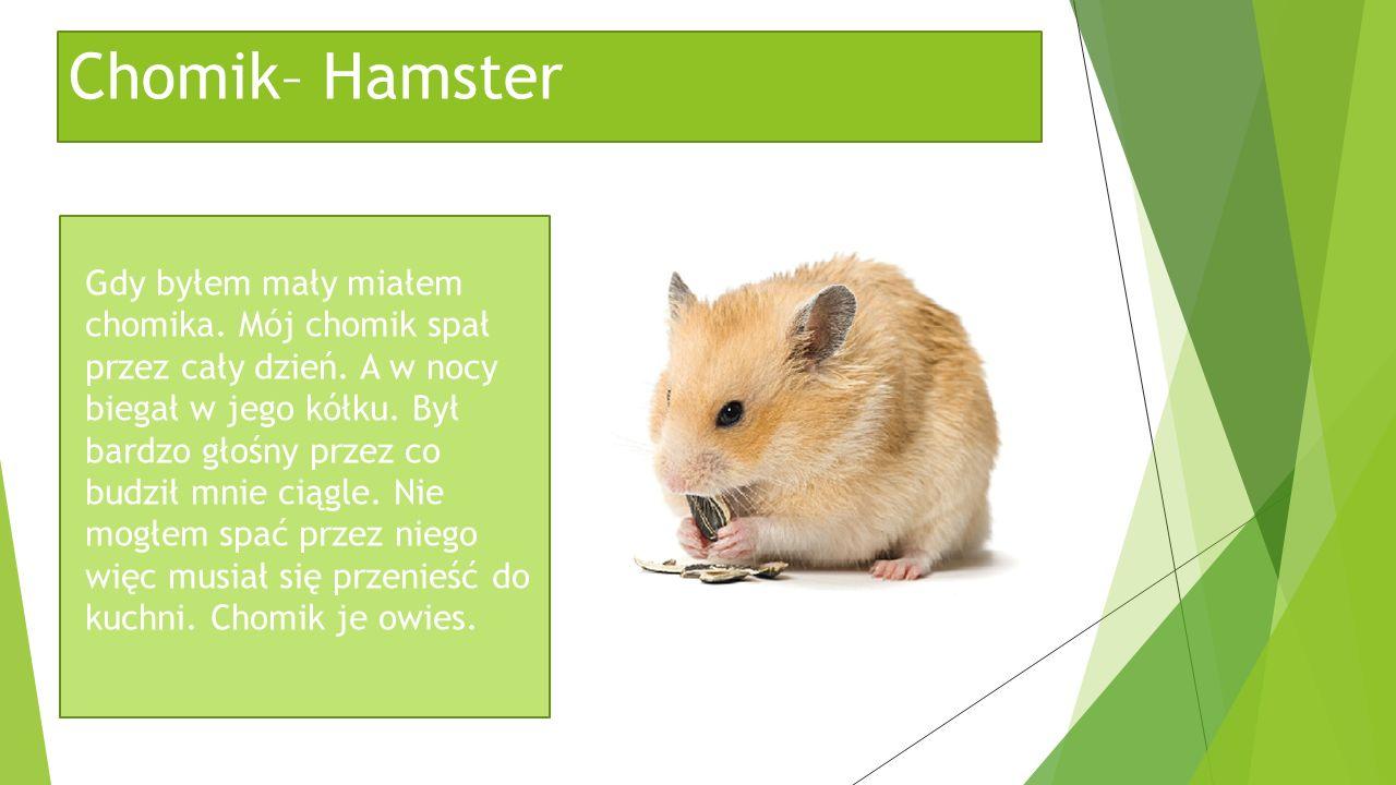Chomik– Hamster Gdy byłem mały miałem chomika. Mój chomik spał przez cały dzień. A w nocy biegał w jego kółku. Był bardzo głośny przez co budził mnie