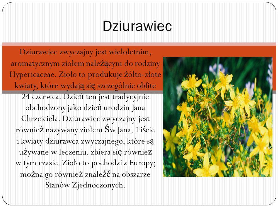 Dziurawiec zwyczajny jest wieloletnim, aromatycznym ziołem nale żą cym do rodziny Hypericaceae.