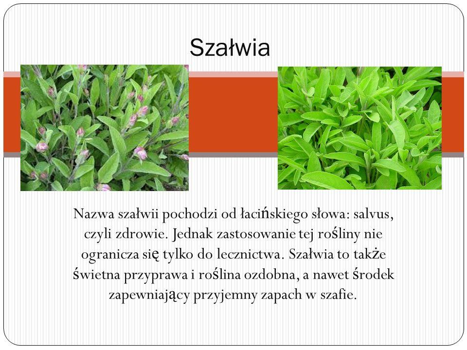 Nazwa szałwii pochodzi od łaci ń skiego słowa: salvus, czyli zdrowie. Jednak zastosowanie tej ro ś liny nie ogranicza si ę tylko do lecznictwa. Szałwi