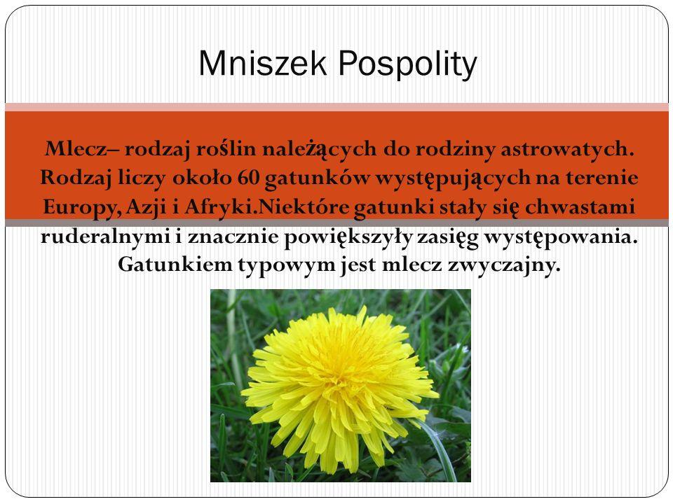 Mlecz– rodzaj ro ś lin nale żą cych do rodziny astrowatych. Rodzaj liczy około 60 gatunków wyst ę puj ą cych na terenie Europy, Azji i Afryki.Niektóre