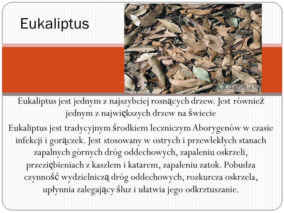 Eukaliptus jest jednym z najszybciej rosn ą cych drzew. Jest równie ż jednym z najwi ę kszych drzew na ś wiecie Eukaliptus jest tradycyjnym ś rodkiem
