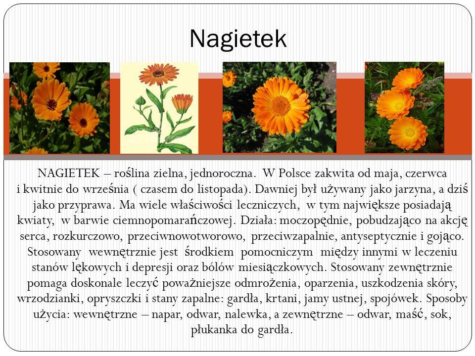 NAGIETEK – ro ś lina zielna, jednoroczna. W Polsce zakwita od maja, czerwca i kwitnie do wrze ś nia ( czasem do listopada). Dawniej był u ż ywany jako